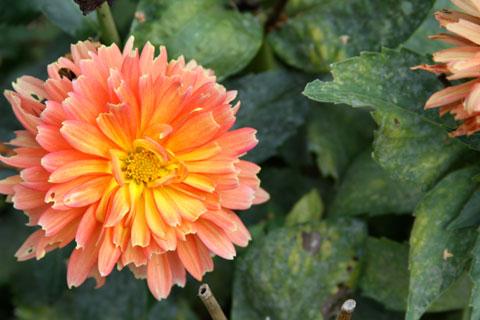 1010-orange-dahlia