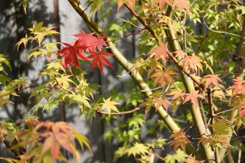 1010-red-leaf-tree