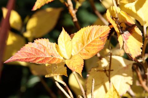 last-of-fall-hydrangea-leaf