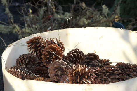 tree-farm-pine-cones